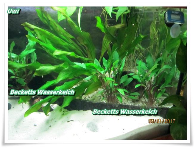 http://uwe.edatasystem.com/aquarium2017/005BeckettsWasserkelch.JPG