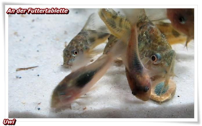 http://uwe.edatasystem.com/aquarium2017/006andertablette.JPG