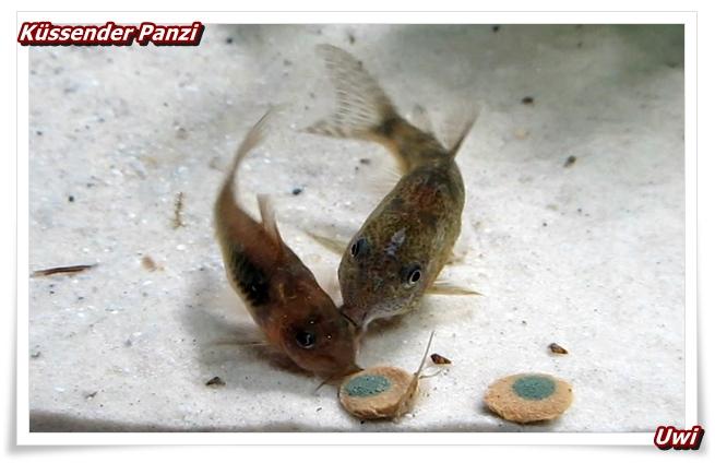 http://uwe.edatasystem.com/aquarium2017/006kuessendepanzis.JPG
